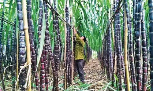 Tháo gỡ khó khăn cho ngành mía đường