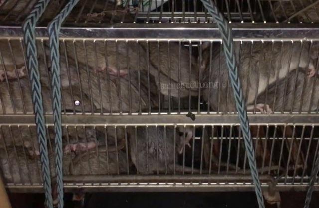 Săn chuột cống - nghề độc nhưng kiếm tiền triệu mỗi đêm - 6