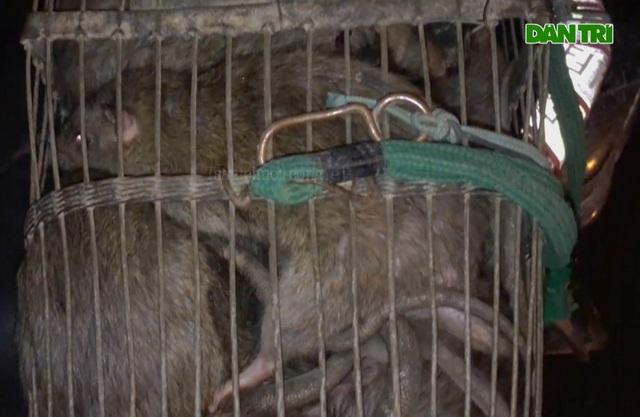 Thợ săn tung chiêu bắt gọn 30kg chuột cống trong một đêm - 5