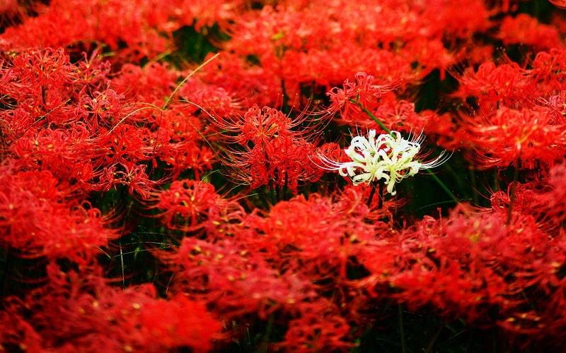 video rung hoa bi ngan dep nhu co tich o nhat ban