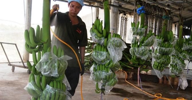 Ngày nay, cây chuối được ông Huy trồng VietGap, có mã vùng trồng, mã xuất khẩu, tiếp tục sẽ làm GlobalGAP.
