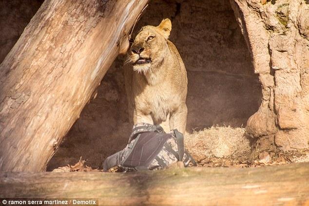 [VIDEO] Người đàn ông thoát chết thần kỳ sau cuộc tấn công của 4 con sư tử