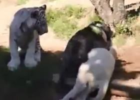 [VIDEO] Chó cả gan trêu ngươi cả hổ và sư tử trắng