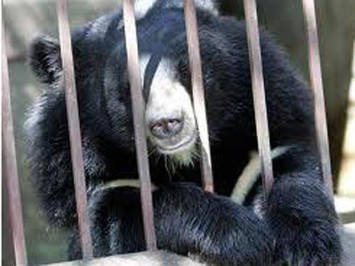 [VIDEO] Gấu chết hàng loạt tại Hạ Long