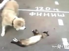 [VIDEO] Hài hước mèo giả chết dọa chó