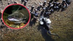 [VIDEO] Cá da trơn
