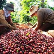 Phận người hái cà phê thuê