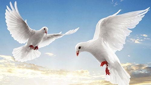 Tại sao chim bồ câu là biểu tượng của hòa bình?