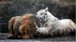 [VIDEO] Hổ trắng ác chiến quật ngã hai con sư tử
