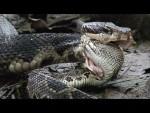 [VIDEO] Hổ mang chúa tung cú đớp