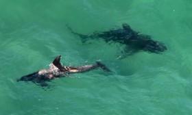 [VIDEO] Kinh hoàng cảnh tượng cá mập