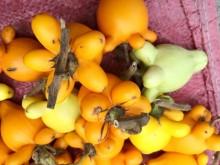Trái dư chưng mâm ngũ quả chứa chất độc