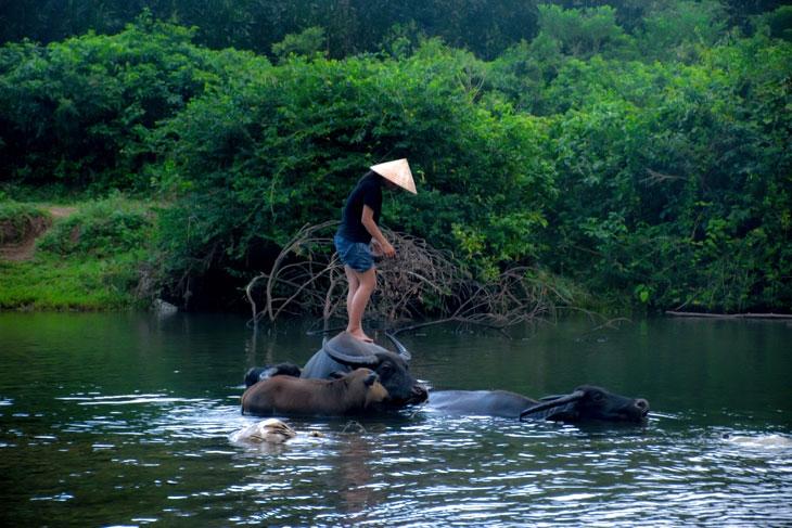 Nuôi trâu ở vùng đàm phá lớn nhất Đông Nam Á