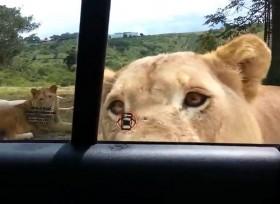 [VIDEO] Thót tim sư tử dùng răng mở cửa xe khách tham quan