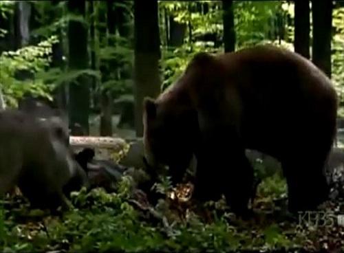 [VIDEO] Gấu liều lĩnh tấn công bầy sói để giành giật thức ăn