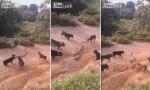 [VIDEO] Đàn chó bày