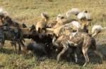 [VIDEO] Lợn rừng liều mình lao vào cứu bạn bị đàn chó hoang xâu xé