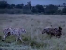 [VIDEO] Báo mẹ hỗn chiến bầy linh cẩu bảo vệ con mới chào đời