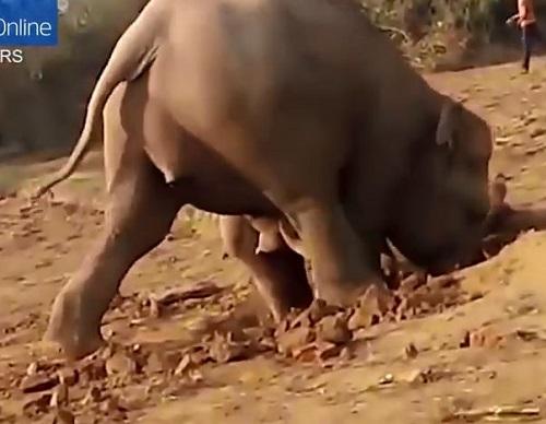 [VIDEO] Voi mẹ thảm thiết, tuyệt vọng tìm cách cứu voi con