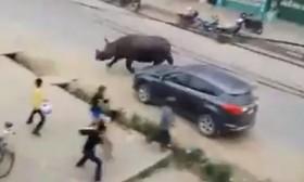 [VIDEO] Tê giác khổng lồ húc chết người giữa khu dân cư