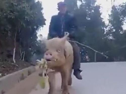 [VIDEO] Người đàn ông cưỡi lợn đi làm gây xôn xao dư luận