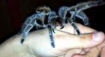 Cô gái nuôi nhện độc làm thú cưng