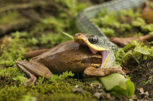 [VIDEO] Nhầm ếch độc, rắn