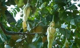[VIDEO] Kỳ lạ loài cây có quả mang hình người phụ nữ