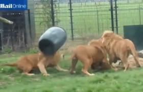 [VIDEO] Bi hài cả đàn sư tử bất lực trước màn nghịch dại của đồng loại