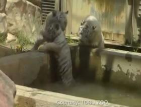 [VIDEO] Hai chú hổ con hợp sức cứu bạn rơi xuống bể nước