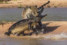 [VIDEO] Báo đốm xuống sông