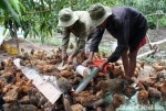 "Vào TPP: Chăn nuôi gặp ""bão"""