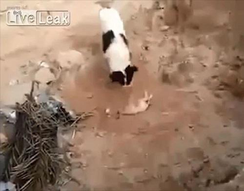 [VIDEO] Chó mẹ tự chôn cất chó con khiến nhiều người không kìm được nước mắt