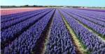 [Cảnh tượng ngoạn mục] Bay trên cánh đồng hoa Hà Lan