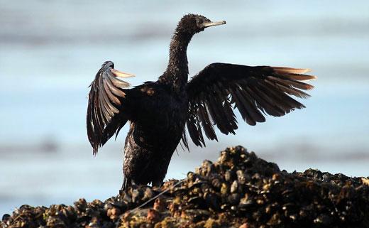 """Động vật biển """"kêu cứu"""" sau vụ tràn dầu lịch sử ở California"""