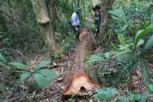 Vụ phá rừng pơ mu: Hé lộ những tình tiết lạ