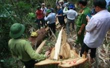 Thành lập tổ công tác đặc biệt điều tra vụ phá rừng pơ mu