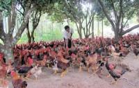 """Gia nhập TPP: Ngành chăn nuôi Việt Nam có nguy cơ """"phá sản""""?"""