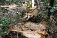 Vụ phá rừng pơ mu: Thêm 5 đối tượng ra đầu thú