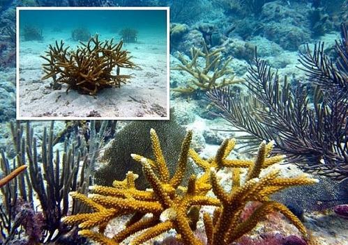Lợi ích từ dự án trồng san hô ở Caribe