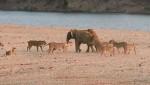 [VIDEO] Chú voi con kiên cường chống lại 14 con sư tử