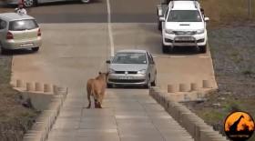 [VIDEO] Cá sấu ăn mất con, sư tử mẹ