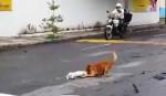 [VIDEO] Cảm động chú chó kéo bạn bị xe đâm vào lề đường