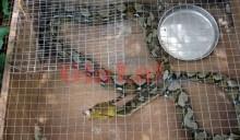 Tại sao ăn thịt con nưa lại gây ngộ độc?