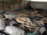 Phát hiện kho rùa biển lớn ở Khánh Hòa