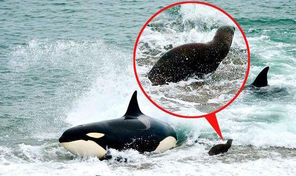 [VIDEO] Cá voi truy sát sư tử biển: Kết cục nghiệt ngã