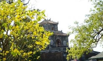 Rạng rỡ vườn hoàng mai trước Đại nội Huế