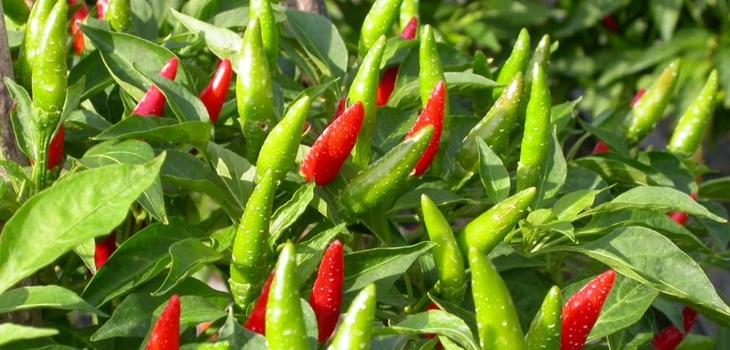 Trung Quốc không cấm nhập khẩu ớt từ Việt Nam