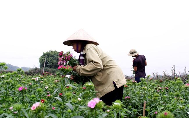 [Chùm ảnh] Làng hoa Tây Tựu hối hả đón Xuân Ất Mùi