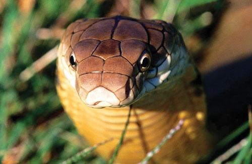 Nơi bảo tồn rắn hổ mang chúa